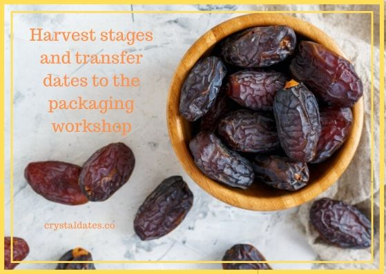Harvest stages and transfer dates to the packaging workshop