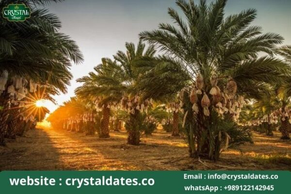 Bushehr palm date bridal of tropical trees