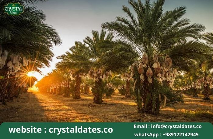 Bushehr_ palm date bridal of tropical trees