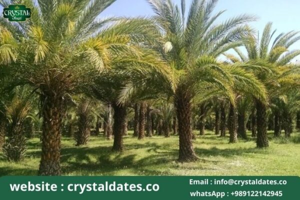 Possibility of acidosis due to consumption of date waste